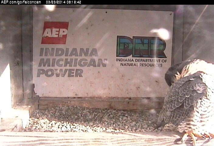 Indiana/Fort Wayne,I-AEP: Jamie(92/D) en Moxie(99/E) 2014 - Pagina 2 Falco182