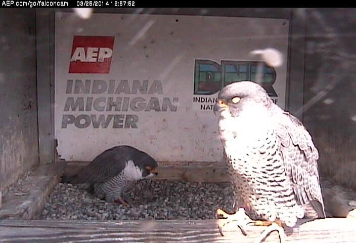 Indiana/Fort Wayne,I-AEP: Jamie(92/D) en Moxie(99/E) 2014 - Pagina 2 Falco187