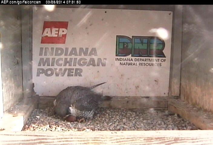 Indiana/Fort Wayne,I-AEP: Jamie(92/D) en Moxie(99/E) 2014 - Pagina 2 Falco188
