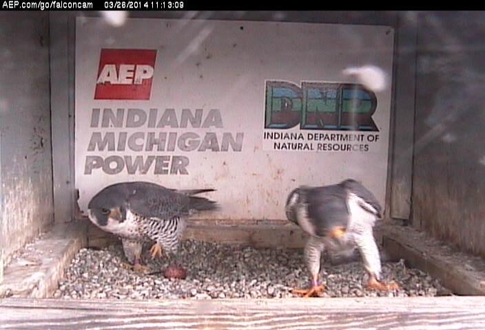 Indiana/Fort Wayne,I-AEP: Jamie(92/D) en Moxie(99/E) 2014 - Pagina 2 Falco189