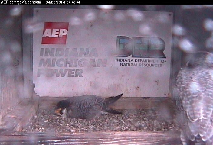 Indiana/Fort Wayne,I-AEP: Jamie(92/D) en Moxie(99/E) 2014 - Pagina 3 Falco213