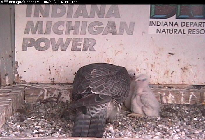 Indiana/Fort Wayne,I-AEP: Jamie(92/D) en Moxie(99/E) 2014 - Pagina 3 Falco234