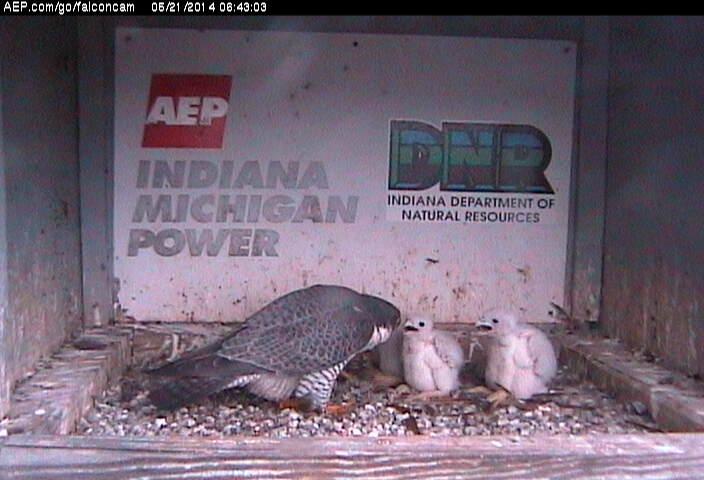 Indiana/Fort Wayne,I-AEP: Jamie(92/D) en Moxie(99/E) 2014 - Pagina 3 Falco235