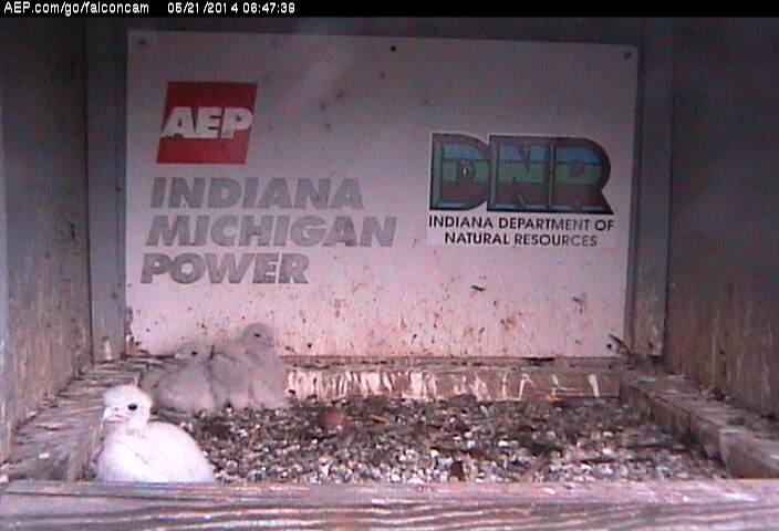 Indiana/Fort Wayne,I-AEP: Jamie(92/D) en Moxie(99/E) 2014 - Pagina 3 Falco236