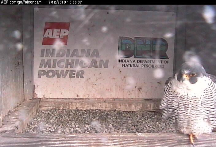 Indiana/Fort Wayne,I-AEP: Jamie(92/D) en Moxie(99/E) 2014 Falcon78