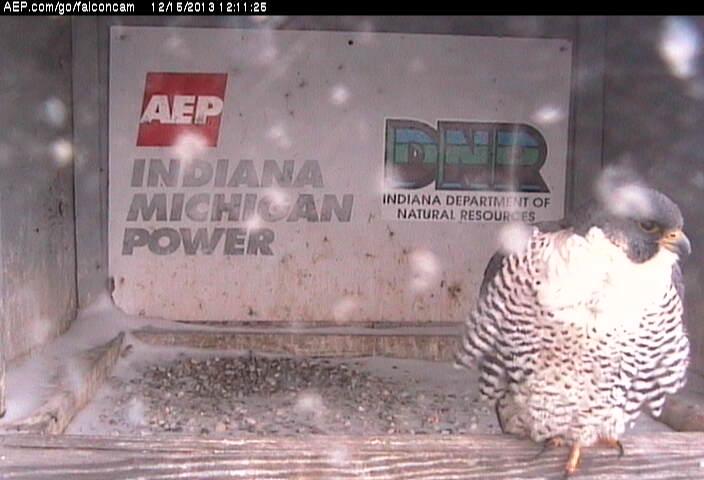 Indiana/Fort Wayne,I-AEP: Jamie(92/D) en Moxie(99/E) 2014 Falcon81