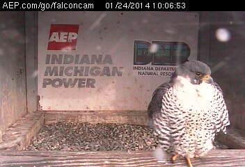 Indiana/Fort Wayne,I-AEP: Jamie(92/D) en Moxie(99/E) 2014 Falcon91