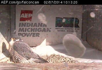 Indiana/Fort Wayne,I-AEP: Jamie(92/D) en Moxie(99/E) 2014 Falcon98