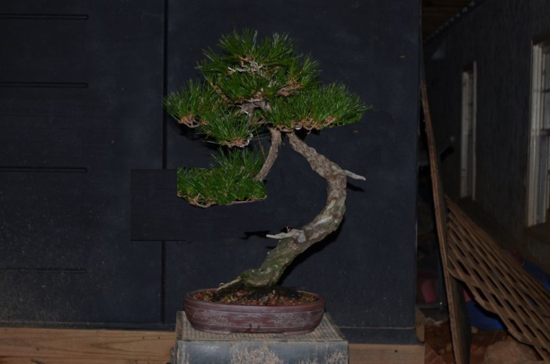 Japanese Red Pine - Page 2 Redpin10