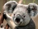 [Hearthstone] Général - Page 7 Koala11