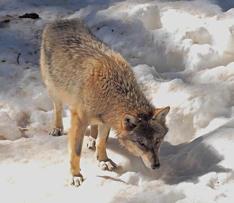 Loups P2230010