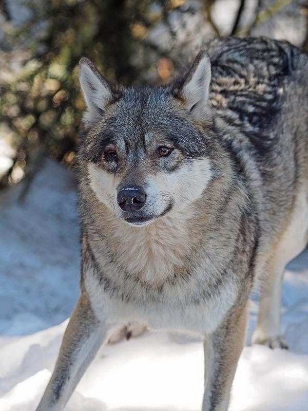 Loups P2230110