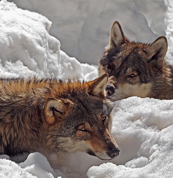 Loups P2230112