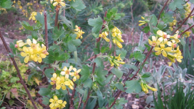 Groseillier à fleurs jaunes : Ribes odoratum Img_1019