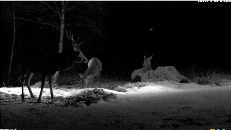 Red Deer Cam (Saarema Island)  - Page 6 Kolm_g10