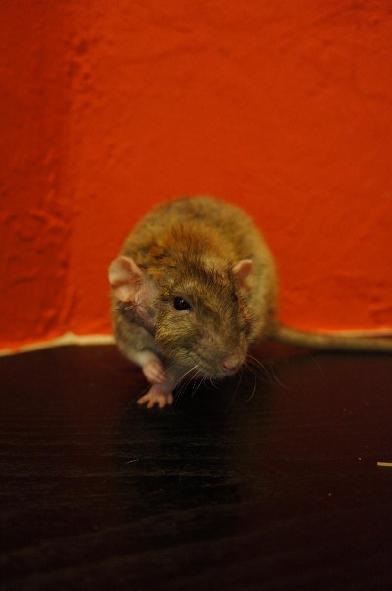 Sauvetage des 25 rats dans les Landes - Page 11 Dsc08911