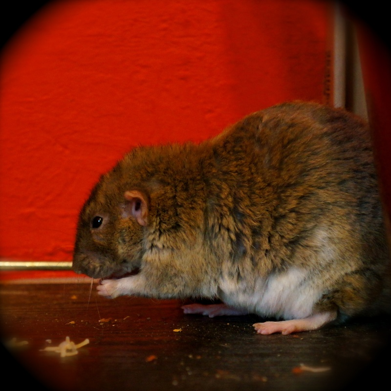 Sauvetage des 25 rats dans les Landes - Page 11 Dsc08912