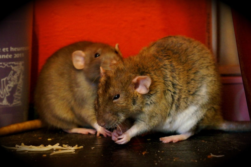 Sauvetage des 25 rats dans les Landes - Page 11 Dsc08913