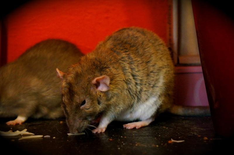 Sauvetage des 25 rats dans les Landes - Page 11 Dsc08914
