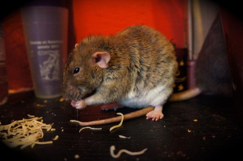 Sauvetage des 25 rats dans les Landes - Page 11 Dsc08916