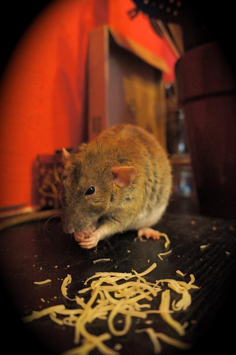 Sauvetage des 25 rats dans les Landes - Page 11 Dsc08917