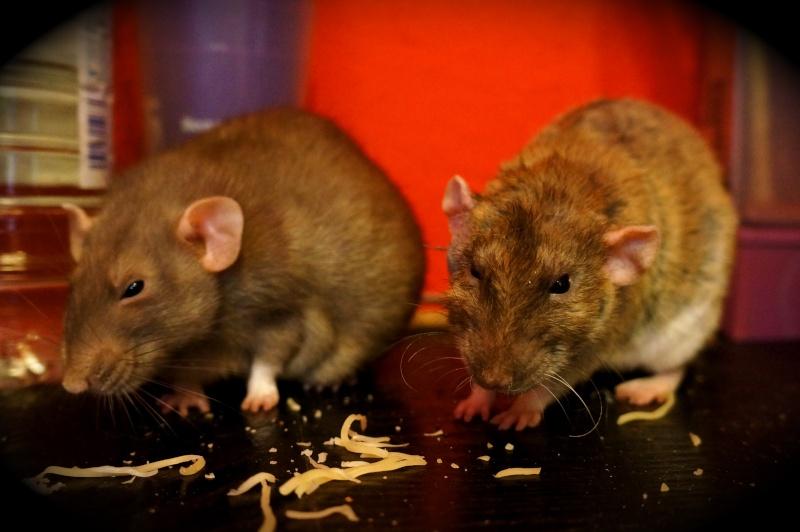 Sauvetage des 25 rats dans les Landes - Page 11 Dsc09010