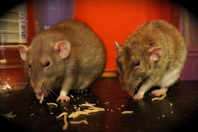 Sauvetage des 25 rats dans les Landes - Page 11 Dsc09018