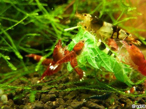 Les crevettes de chez VX78 P1080019