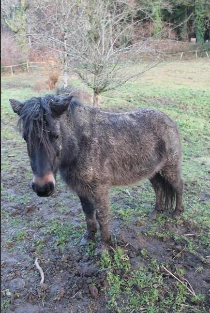 PRUNELLE - ONC poney typée shetland présumée née en 2000 - adoptée en août 2013 par Céline - Page 2 Prunel11