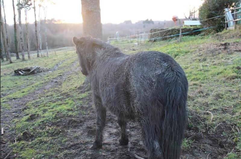 PRUNELLE - ONC poney typée shetland présumée née en 2000 - adoptée en août 2013 par Céline - Page 2 Prunel14