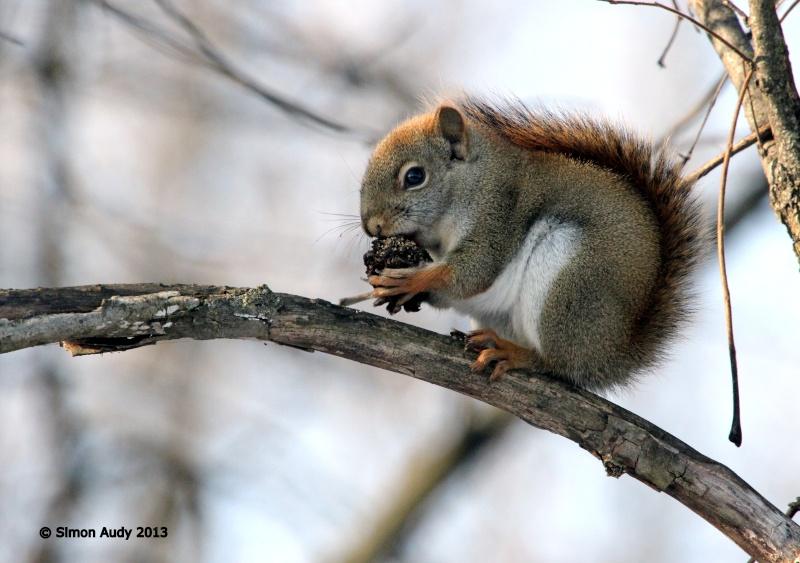 Écureuil roux Img_5913