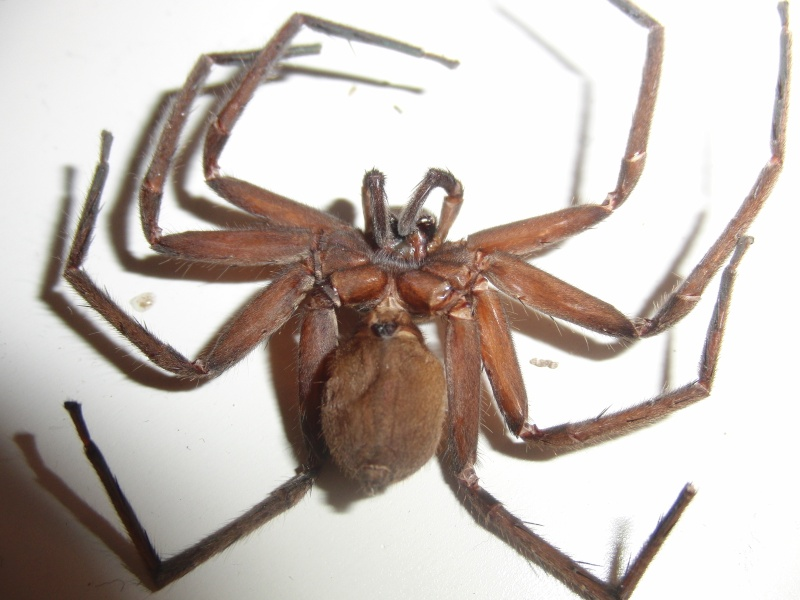 [Araignées]A.Bogotensis, C.Salei et H.Tetrica Cimg0035