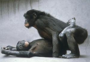 ENFIN   du   Porno !!! Bonobo10