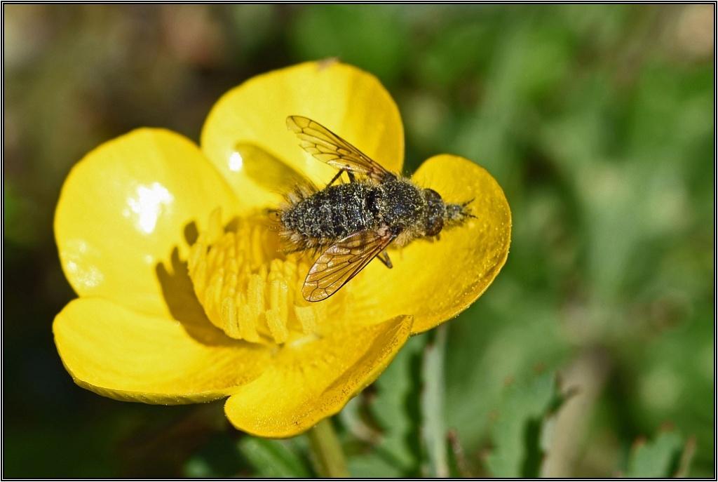 Mouche non identifiée [Bombyle - Conophorus sp.] Mouche10