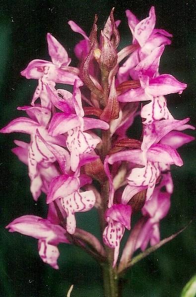 Dactylorhiza cyrnea, espèce nouvelle pour la Corse - Page 2 Numari12