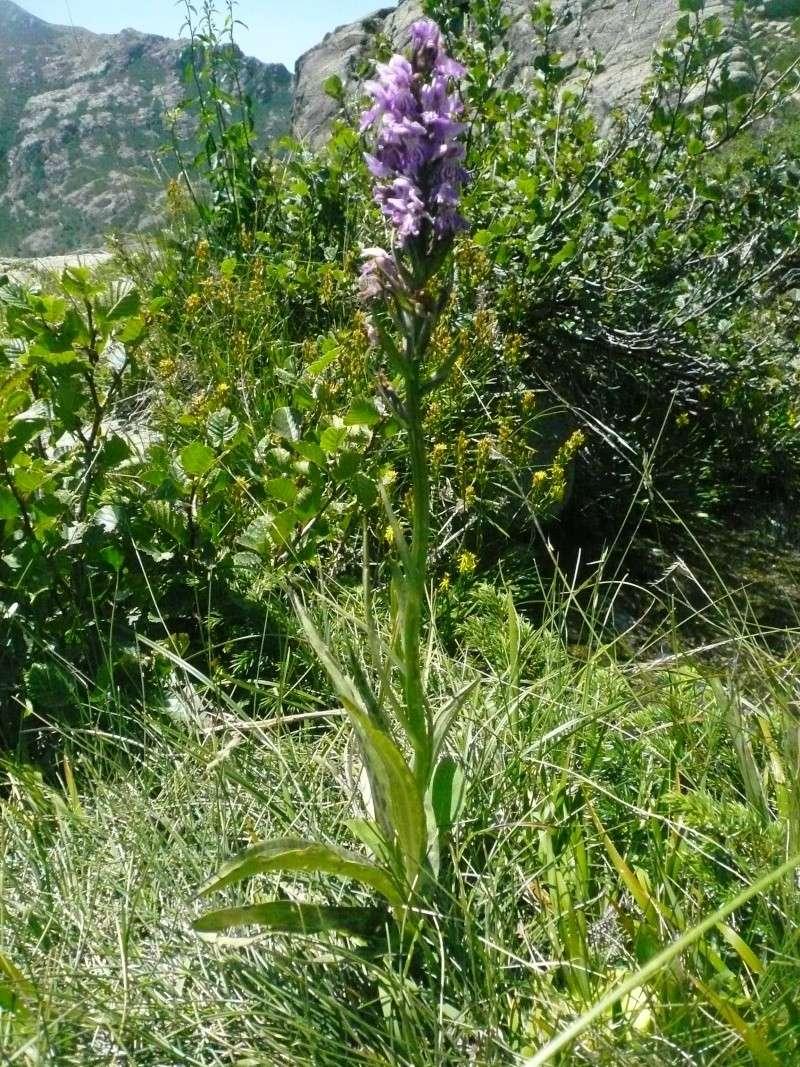 Dactylorhiza cyrnea, espèce nouvelle pour la Corse - Page 3 P1170511