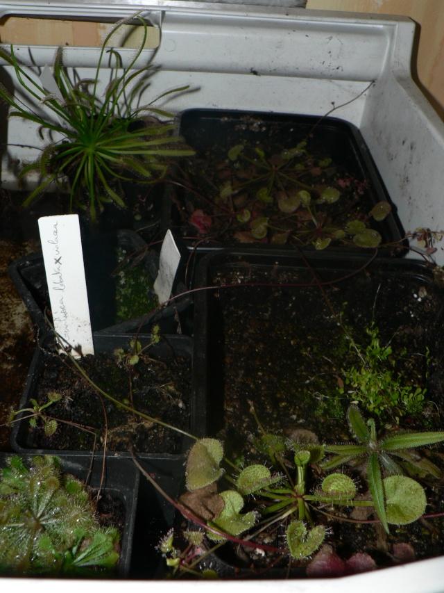 [Culture] Drosera prolifera P1140118