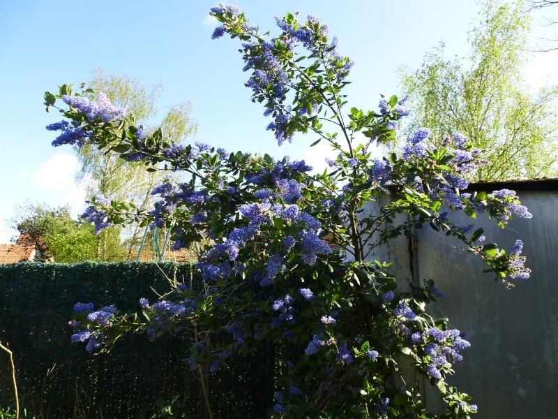 Ceanothe trewiten blue Ceanot10