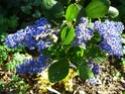 Ceanothe trewiten blue P1010714