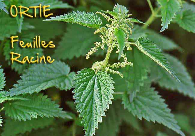 semer des graines de Goji Ortie310
