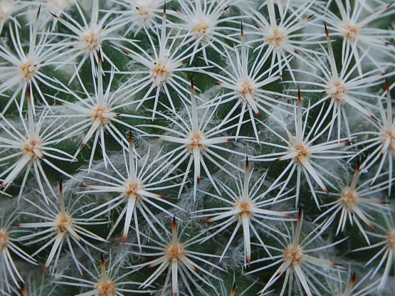 Mammillaria dealbata 2443-210