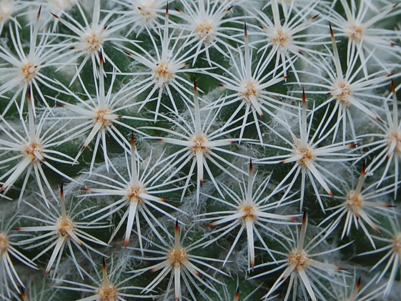 Mammillaria dealbata 2443-211