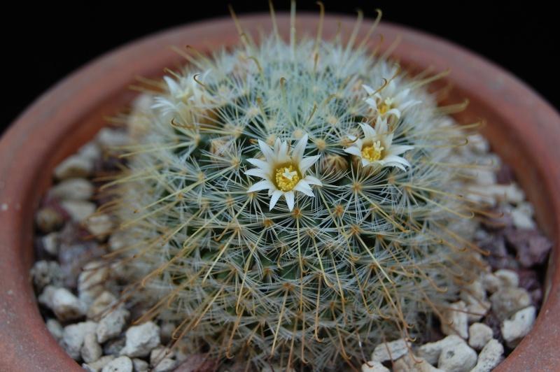 Mammillaria sinistrohamata 2610-211