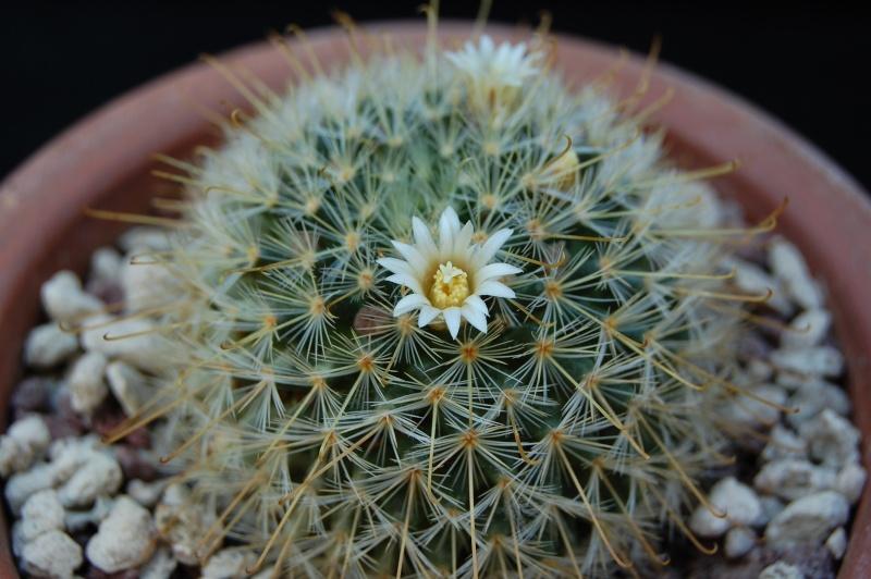 Mammillaria sinistrohamata 2610-212