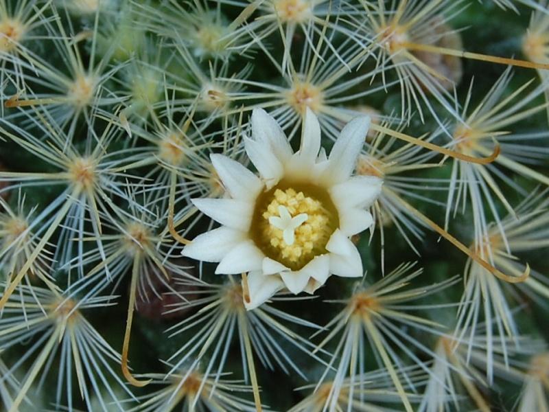 Mammillaria sinistrohamata 2610-213