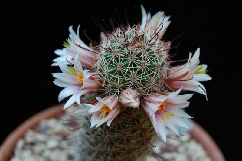 Mammillaria swinglei 2841-210