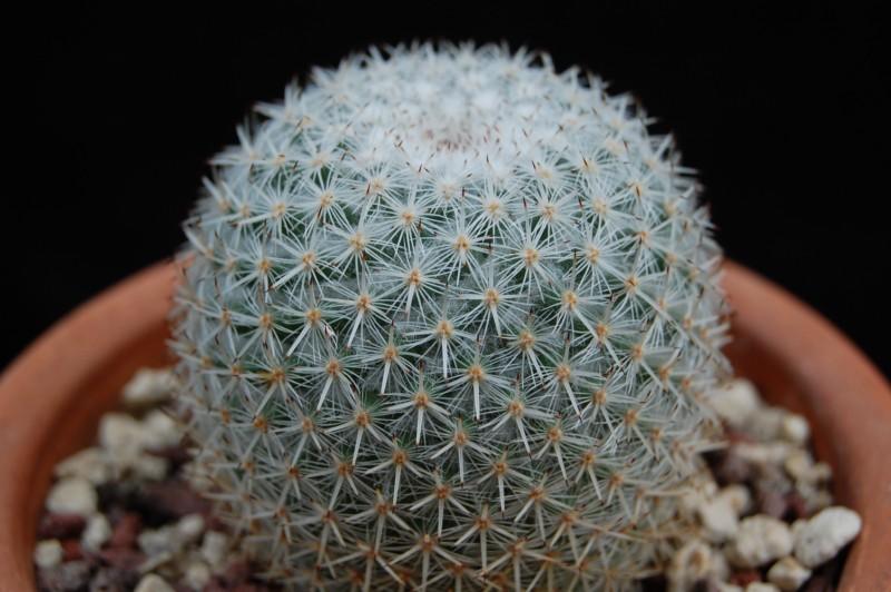 Mammillaria dealbata 2867-211