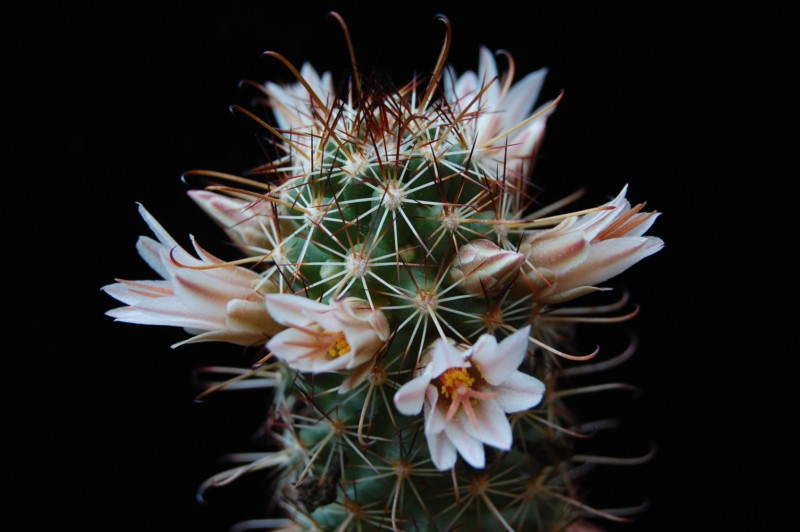 Mammillaria capensis 3168-210