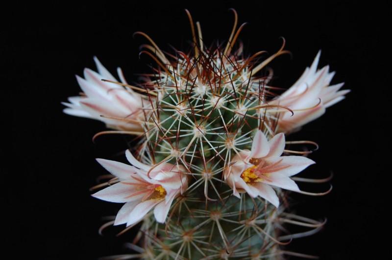 Mammillaria capensis 3168-211