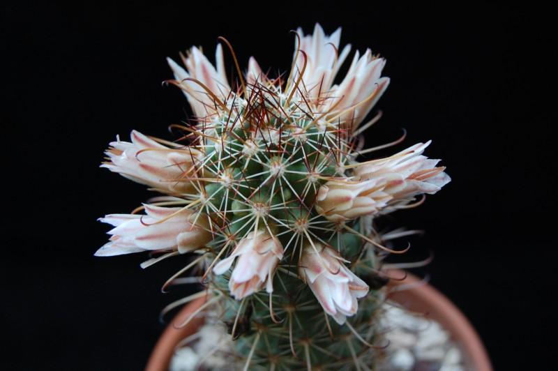 Mammillaria capensis 3168-212